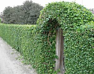Зелёная изгородь своими руками