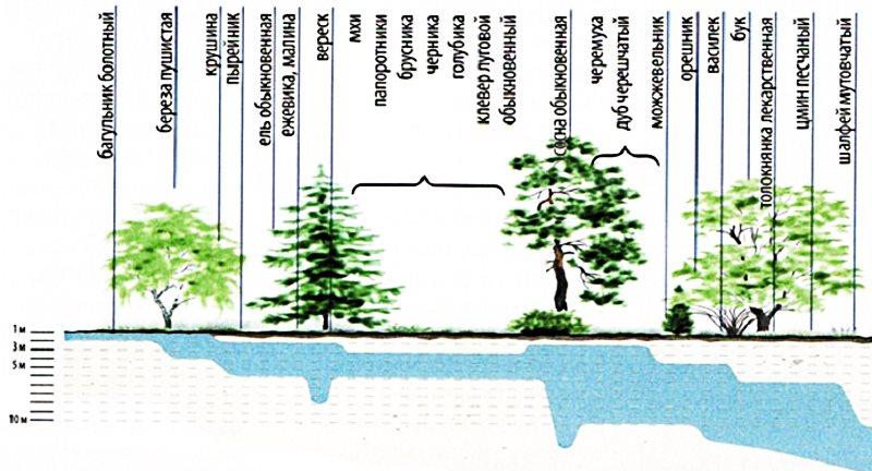 как найти воду для скважины по деревьям